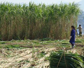 Manual harvesting of Giant King Grass in China